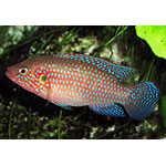 Blue Jewel Cichlid