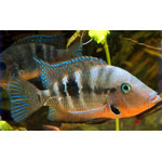 Fire Mouth Cichlid