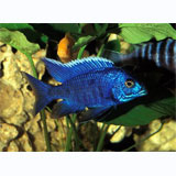 Blue Peacock Cichlid  (SP)