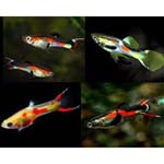 Endler s assorted guppy
