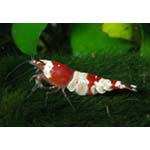 Red white crystal shrimp