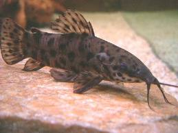 Spotted Hoplo Catfish